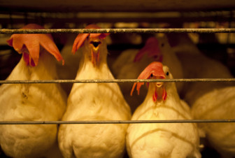 Chickens line up to feed a the University of Illinois at Urbana-Champaign poultry farm.  The farm houses approximately 7,000 chickens used for egg production and ovary cancer research.