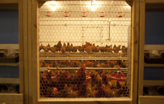 Chickens at the University of Illinois poultry farm on March 7, 2013 at Urbana-Champaign.
