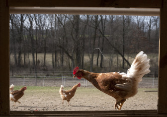 Shown above are chickens raised at a family farm in Campbell Hill, Ill. The Food Safety and Inspection Service sets the Salmonella standard for whole-chicken carcasses at 7.9 percent. There currently is no standard for raw chicken parts.