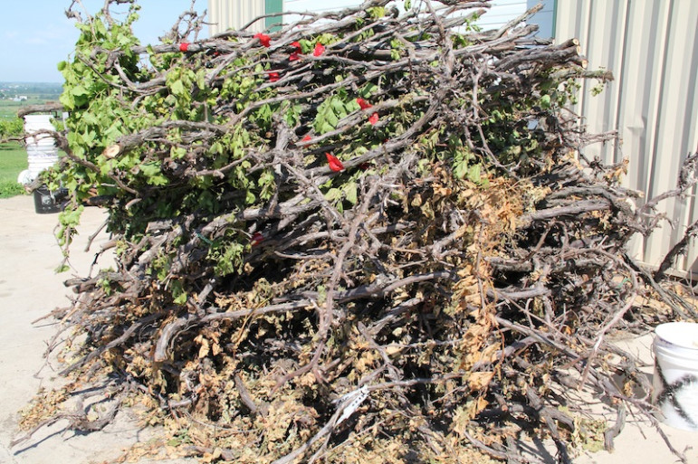 Platteville grape grower Ted Kearns said he piled up more than 300 ten-year-old vines in his driveway after they died from herbicidal drift last year.
