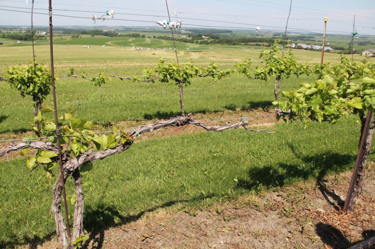 Platteville grape grower Ted Kearns said many of his vines have been repeatedly exposed to herbicidal drift, stunting their growth