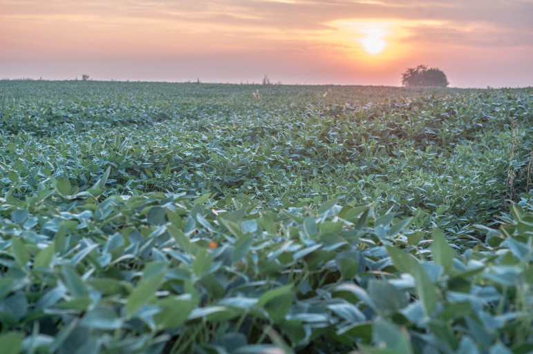 Soybeans at sunrise near Mansfield, Ill., on Aug. 20, 2013