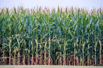 Corn near Mansfield, Ill., on Tuesday, August 20, 2013. This year, the price per bushel of corn is expected to plummet from the nearly $8 levels of recent years.