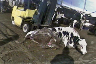 The U.S. Department of Agirculture bans the use of downer cattle because of health risks. Downer animals are animals that are no longer able to stand on their on power. The hidden-camera documentation of these abuses led a major meat recall and multimillion dollar lawsuit.
