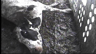 The Food Safety and Inspection Service monitors for animal abuse and misuse at the slaughterhouse. The agency conducted a widespread investigation when a 2008 video showed sick cattle being processed into food.