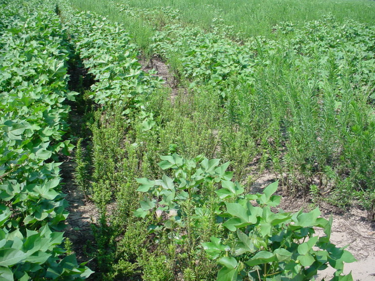 Marestail infests a cotton field. Marestail is just one of hundreds of weeds that have become resistant to popular herbicides.