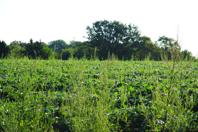 The weed waterhemp begins to overtake a soybean field. Researchers estimate there are more than 400 types of herbicide-resistant weeds globally.