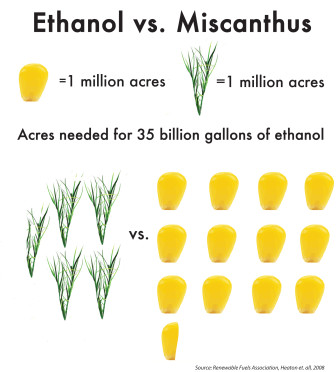 Shown here, miscanthus can yield much more in terms of renewable fuel per acre than corn. Click on the image to enlarge it.