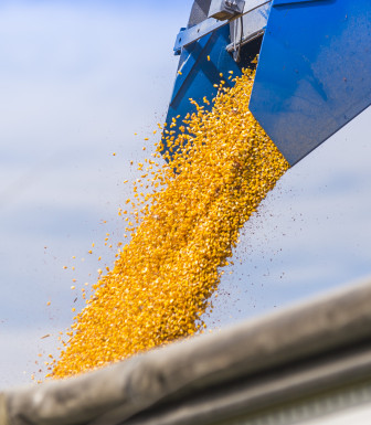 Corn grain is poured into a wagon in Champaign County on Sept. 27, 2014. According to the United Nations, global food production must double by 2050.