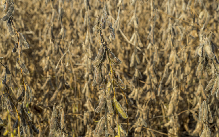 Soybeans shortly before being harvested in central Illinois on Sept. 22, 2015. Similar to corn, soybeans and soybean products have been major exports for the U.S. agriculture industry.