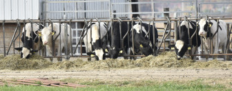 Cows are lined up to eat hay at a University of Illinois at Urbana-Champaign farm facility on Nov. 5, 2015. Under current trade policy, some of the Trans-Pacific Partnership members impose strict trade taxes on dairy, beef and other farm products.