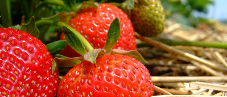 Michelle Williamson of Franberry Farms in Plant City, Fla., said the companys strawberry operation was delayed two weeks because workers were stalled at the Mexican-U.S. border.| Photo Illustration