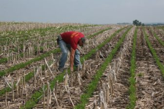 Chad Ingels, a corn, soy and hog farmer in northeastern Iowa, pulls weeds in his no-till soybean field on Tuesday, June 14, 2016. Ingels uses herbicides as well as insecticides and fungicides, when needed, on his fields.