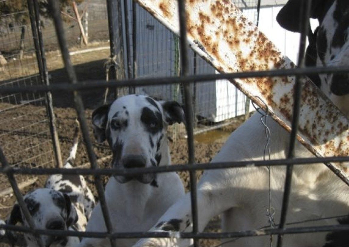 "Photo of dogs ""Okie"" (left), ""Jenny"" (middle) and ""Foot"" (right) at former dog breeding facility owned by Debra Pratt near New Sharon, Iowa, in this photo taken March 26, 2013, during an authorized USDA Animal and Plant Health Inspection Service investigation."