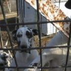 """Photo of dogs """"Okie"""" (left), """"Jenny"""" (middle) and """"Foot"""" (right) at former dog breeding facility owned by Debra Pratt near New Sharon, Iowa, in this photo taken March 26, 2013, during an authorized USDA Animal and Plant Health Inspection Service investigation."""